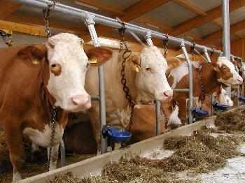 Kühe beim Bauernhofurlaub in Bayern Bauernhof Bayerischer Wald