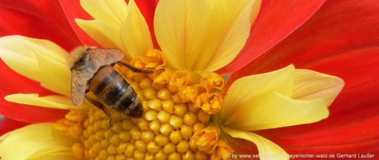 blumenbilder-naturfotos-blueten-honigbiene-highlights-schoen