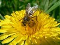 Biene saugt Nektar von einem Löwenzahn
